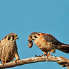 American Kestrels sharing meals