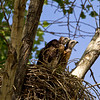 Red-tailed Hawk chicks in their nest