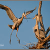 Great Blue Heron nesting. Captured at Bolsa Chica Ecological Reserve