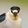 Black-crowned Night Heron :