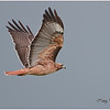 Red-tailed Hawk/Harriers/Vultures/Duck Northern Calif. :