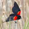 Red-Winged Blackbird :