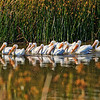 White Pelicans - San Joaquin Wildlife Sanctuaty :