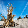 Ancient Bristlecone Pine - Trees of thousand years old :