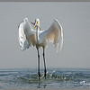 The Great Egret :