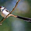 Pin-tailed Whydah :