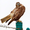 The Red-Tailed Hawk :