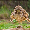 Burrowing Owl :