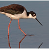 The black-necked stilts :